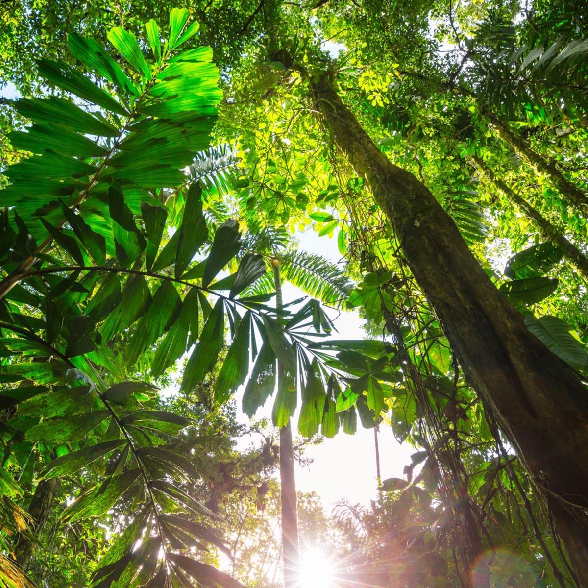Regenwald Brasilien 1200×1200